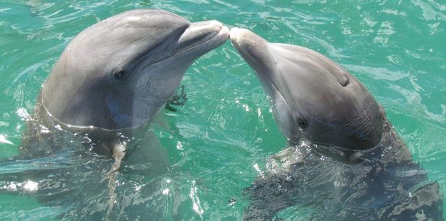 pusinka delfínů